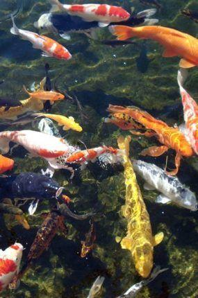 7b41ab3f1b92ee18771ec2bcd6deb0ee-garden-ponds-koi-ponds