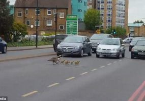 Geese crossing the road