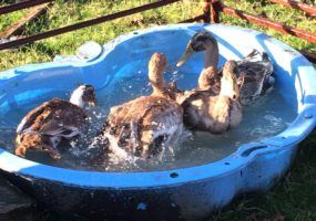 ducks-having-a-clean-up