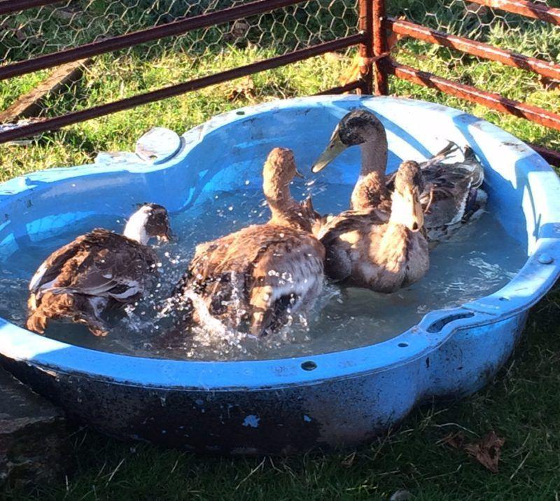 ducks-having-a-clean-up